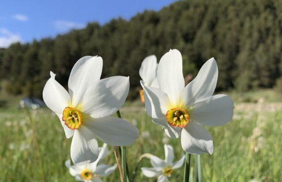 La grandalla, la flor nacional d'Andorra