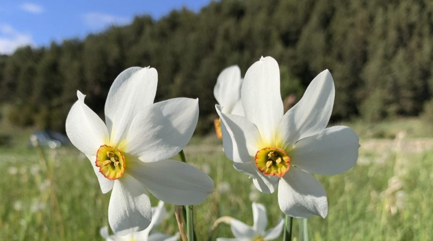 The poet's narcissus, the national flower of Andorra
